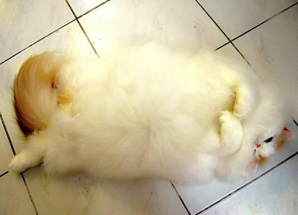Fluffy Cat Iliad