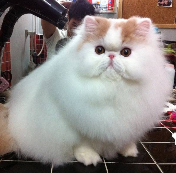 fluffiest-cats-instagram-iliad-8