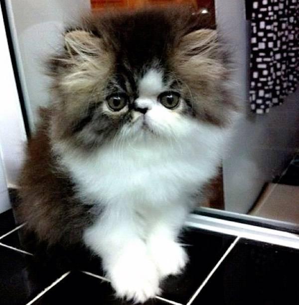 Iris Fluffiest Cat Instagram