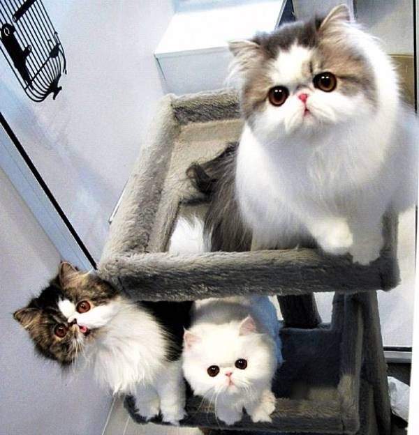 fluffiest-cats-instagram-iris-hope-themis-1