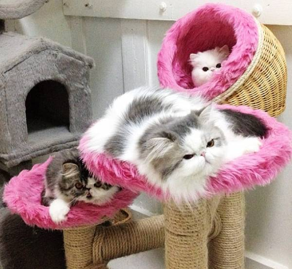 fluffiest-cats-instagram-iris-hope-themis-2