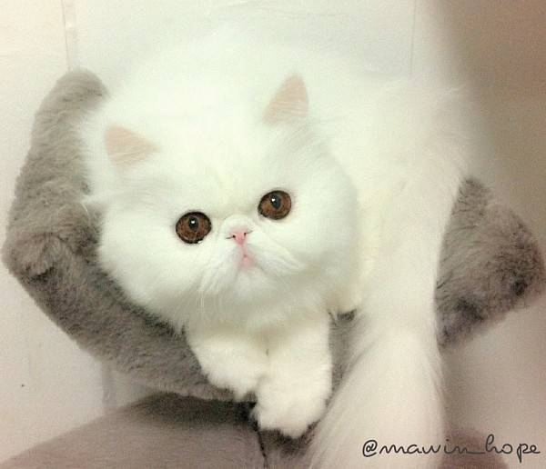 fluffiest-cats-instagram-themis-3