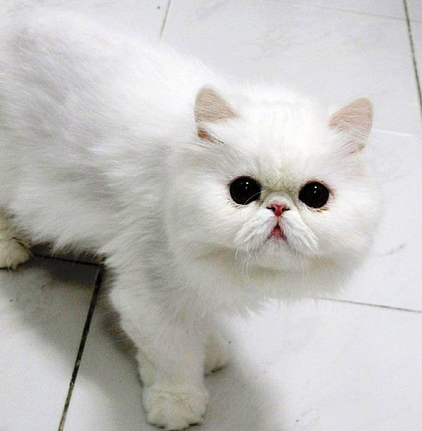 Fluffy Cats of Instagram Themis