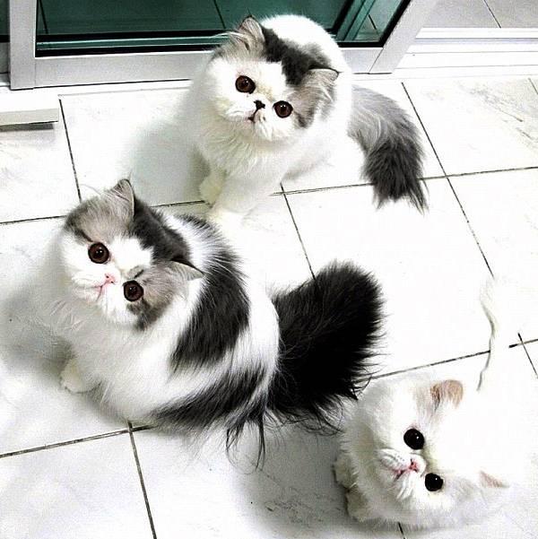 fluffiest-cats-instagram-zeus-hope-themis