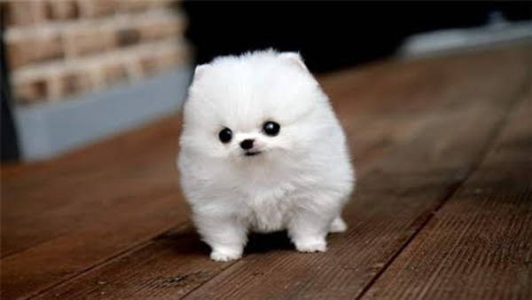 Fluffy White Puppy