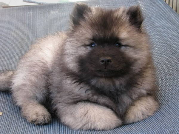 Fluffy Shepherd Dog