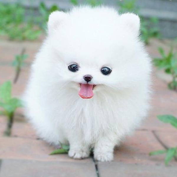 Fluffiest Dogs White Puppy