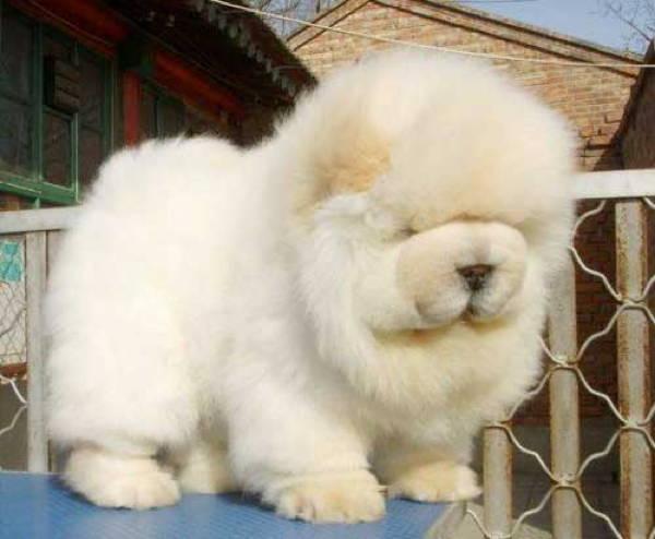Fluffy Dog Chow Chow