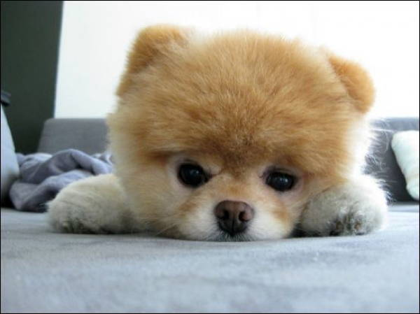 fluffiest-dogs-6