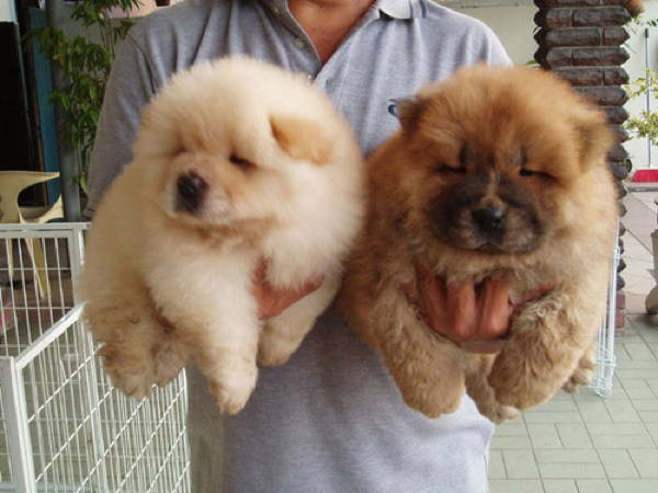 Fluffy Chow Chow Puppies