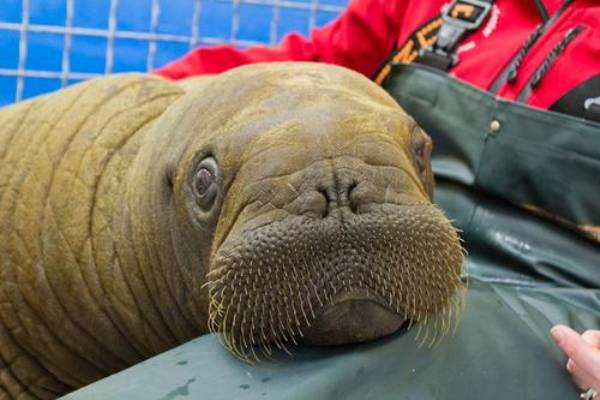 Mitik The Orphaned Baby Walrus