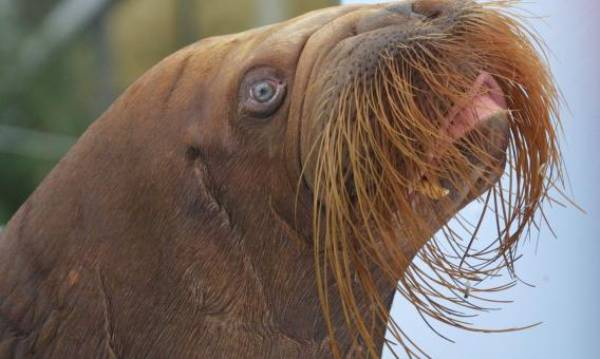 mitik orphaned baby walrus 10 17 Heartwarming Pictures Of Mitik, The Orphaned Baby Walrus