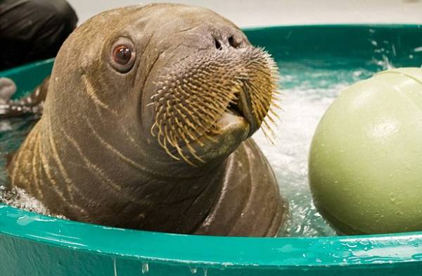 Orphaned Walrus In Pool