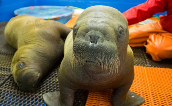 Adorable Baby Walruses