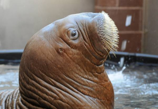mitik orphaned baby walrus 15 17 Heartwarming Pictures Of Mitik, The Orphaned Baby Walrus
