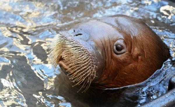 mitik-orphaned-baby-walrus-16