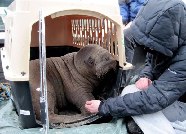 mitik orphaned baby walrus 17 17 Heartwarming Pictures Of Mitik, The Orphaned Baby Walrus