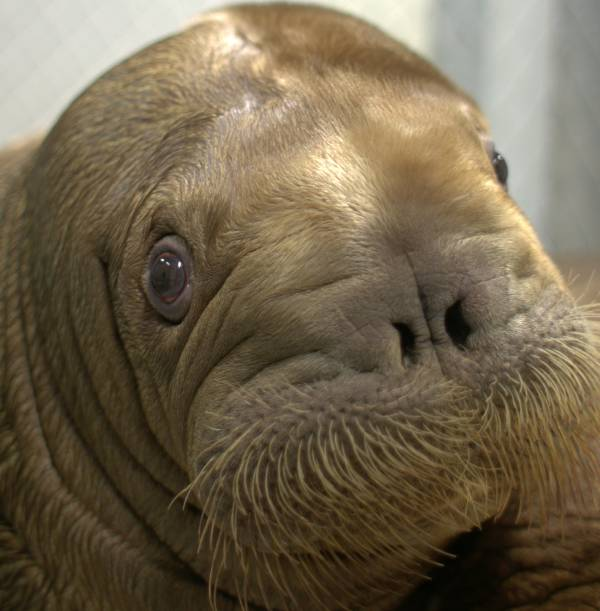 Walrus Pup Adorable Face