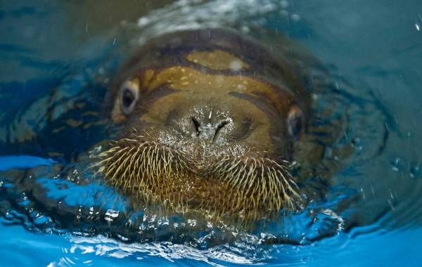 mitik orphaned baby walrus 3 17 Heartwarming Pictures Of Mitik, The Orphaned Baby Walrus