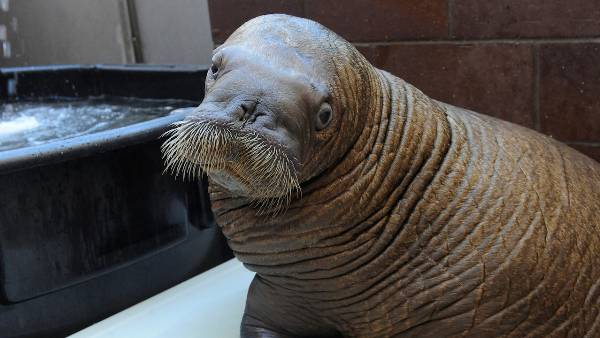 mitik orphaned baby walrus 4 17 Heartwarming Pictures Of Mitik, The Orphaned Baby Walrus