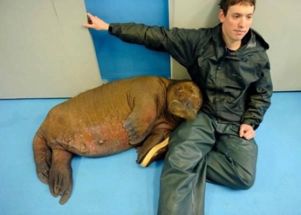 mitik-orphaned-baby-walrus-6