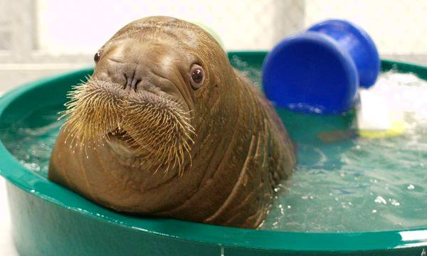 Baby Walrus In Small Pool