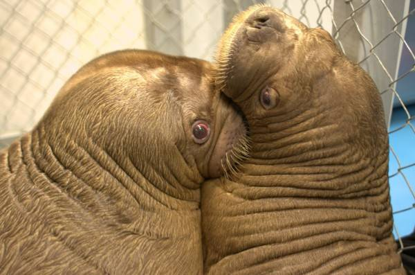 Two Cute Walruses Play With Each OTher