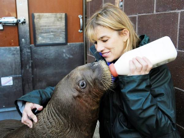 Baby Walrus Gets Fed Photo
