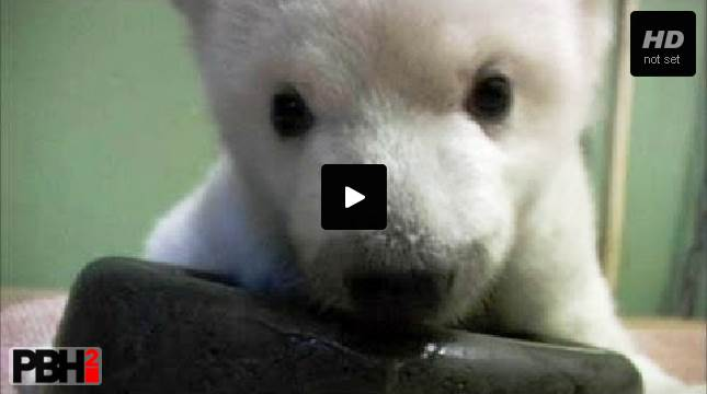 Polar Bear Learns to Walk
