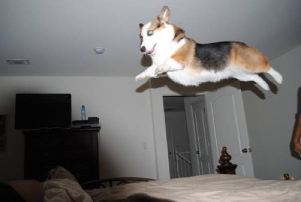 Stumpy Corgi Jumping