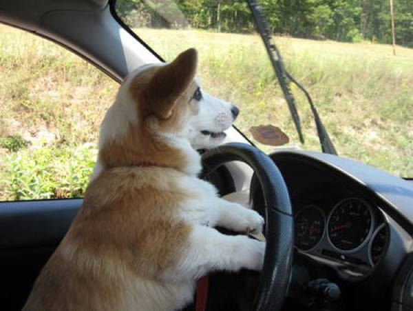 Corgi Goes For A Drive