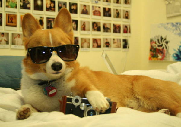 ridiculous corgi 17 The 20 Most Ridiculous Corgi Pictures Ever