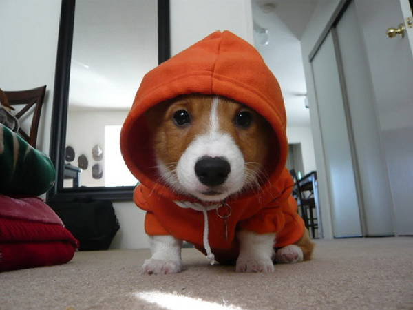 Ridiculous Corgis Pictures Hood