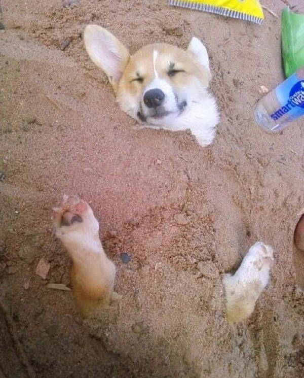 ridiculous corgi 19 The 20 Most Ridiculous Corgi Pictures Ever