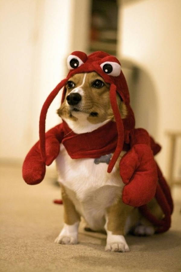 Corgi Dressed As A Lobster Lobster