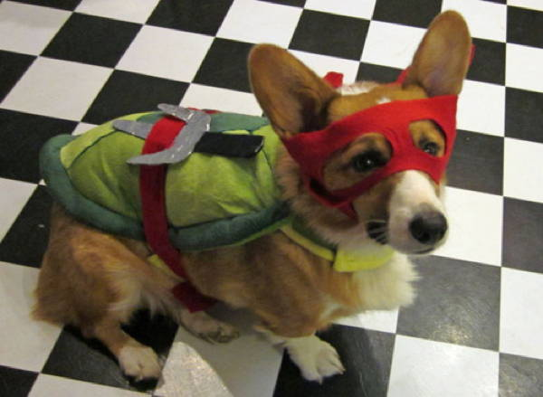 Hilarious Corgi Picture Turtle