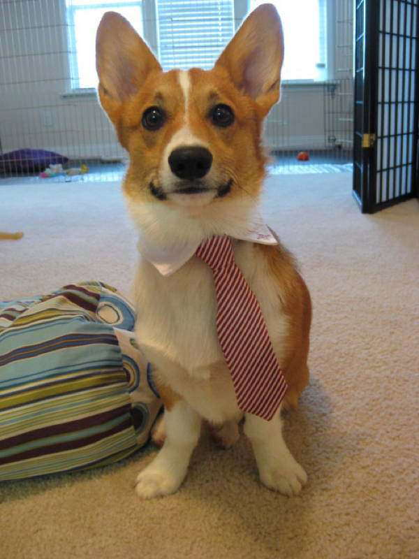 Corgi In A Suit