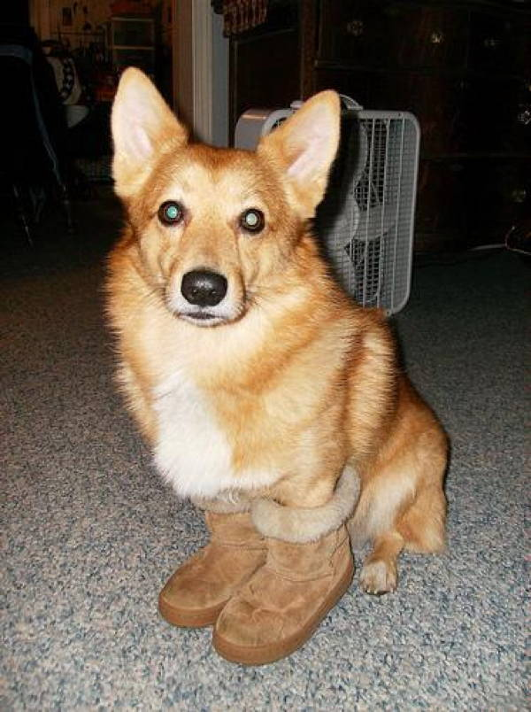 ridiculous corgi 9 The 20 Most Ridiculous Corgi Pictures Ever