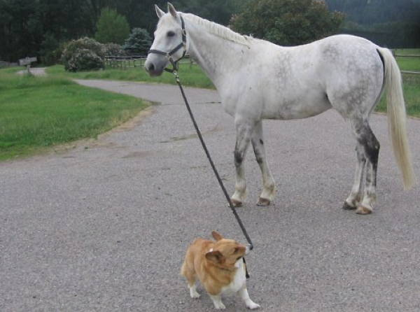Ridiculous Corgi Horse