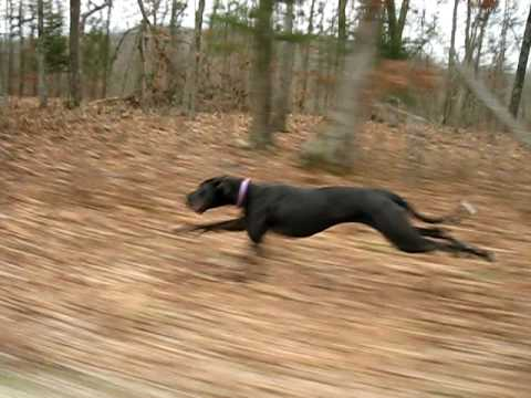 A Great Dane Running 30 Miles Per Hour