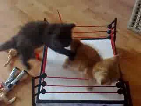 Adorable Kitten Wrestling