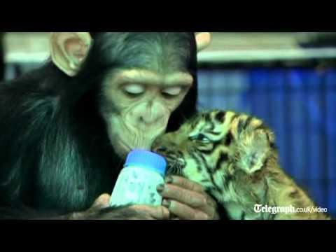 Chimpanzee Bottle Feeds A Tiger Cub