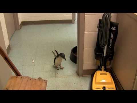 Tickling A Baby Penguin