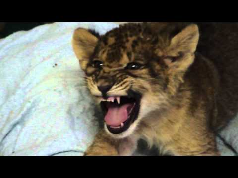 Lion Cub Lets Out Its Best Roar
