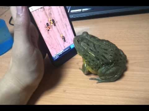 African Bull Frog Is Awesome At iPhone Game