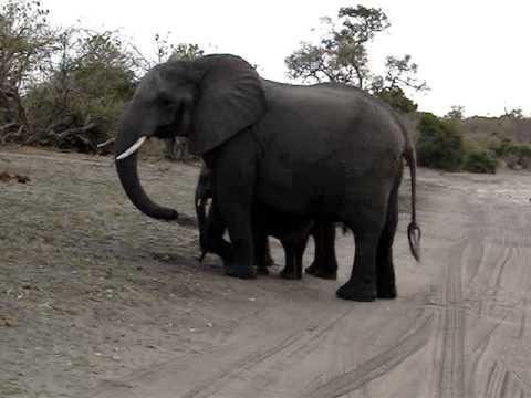 Sneezing Baby Elephant