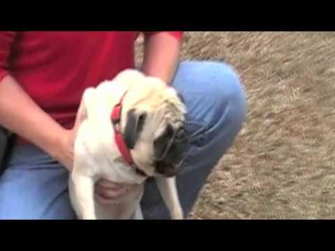 Have You Ever Heard A Pug Scream?
