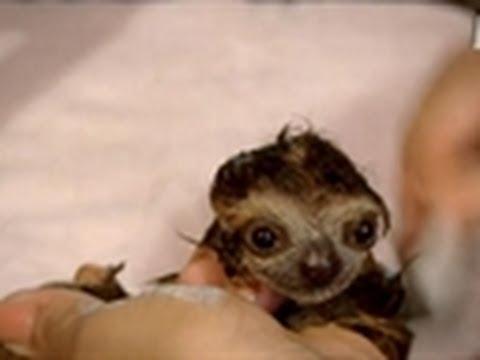 Bathing A Baby Sloth