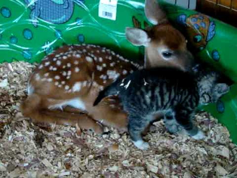 Kitten & Baby Deer In Love!