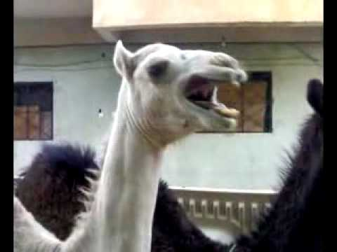 An Absurd Camel Laugh